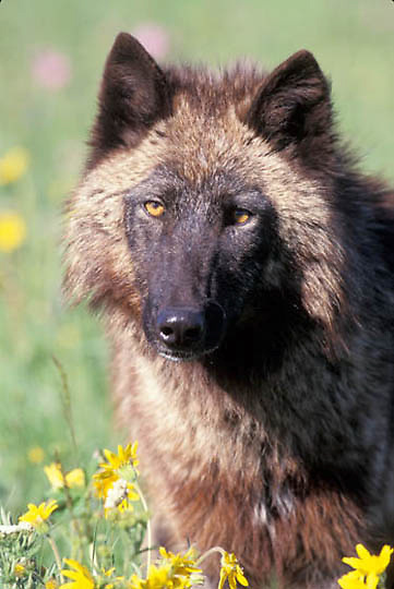 Gray Wolf, (Canis lupus) Adult in flowers. Rock mountains.  Captive Animal.