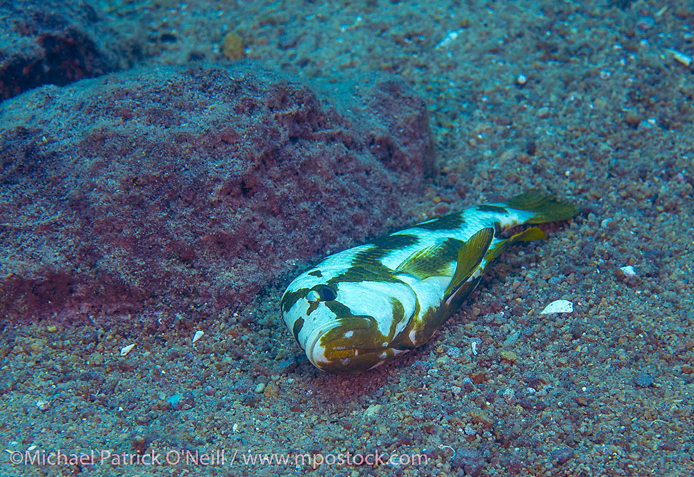 Livingstone's Cichlid, Nimbochromis livingstonii, is a cunning predator endemic to Lake Malawi that will play dead in an attempt to lure prey closer to it.