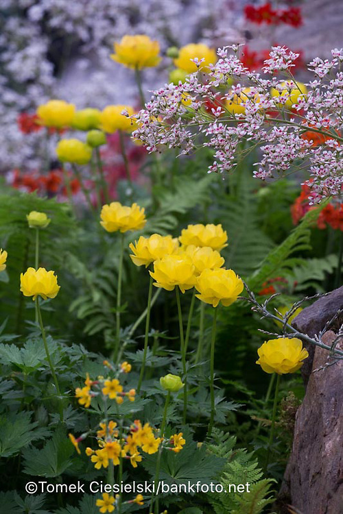 Trollius 'Lemon Supreme'