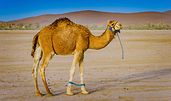 A tethered camel in the Moroccan Sahara Desert<br /> <br /> (c) Andrew Wilson | Edinburgh Elite media