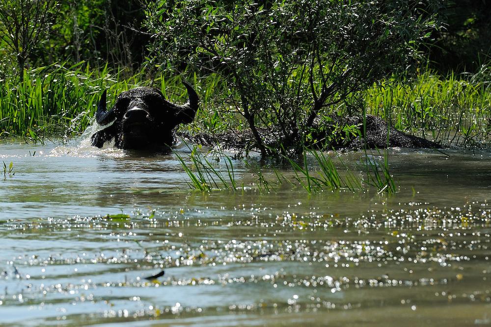 Water buffalo, (Bubalus bubalis), Danube delta rewilding area, Romania