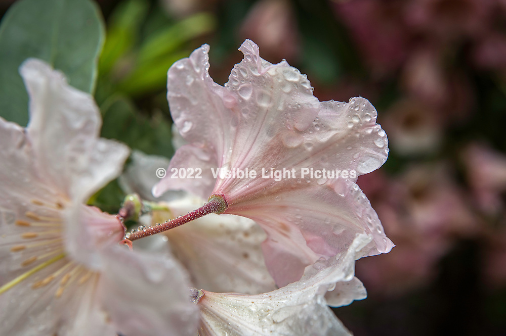 Rhododendron blossom, after the rain at Heritage Plantation in in Cape Cod, MA, USA