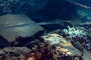Keeltail Needlefish, Platybelone argalus, (Lesueur, 1821), Maui Hawaii