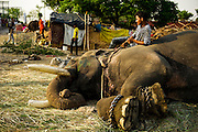 5th May 2014, Yamuna River, New Delhi, India. A mahout lying down on male elephant Gangaram at the handler's camp, with an iron bull-hook to hand, as the animal lies on its side exposing the cracked soles of its feet, New Delhi, India on the 5th May 2014<br />