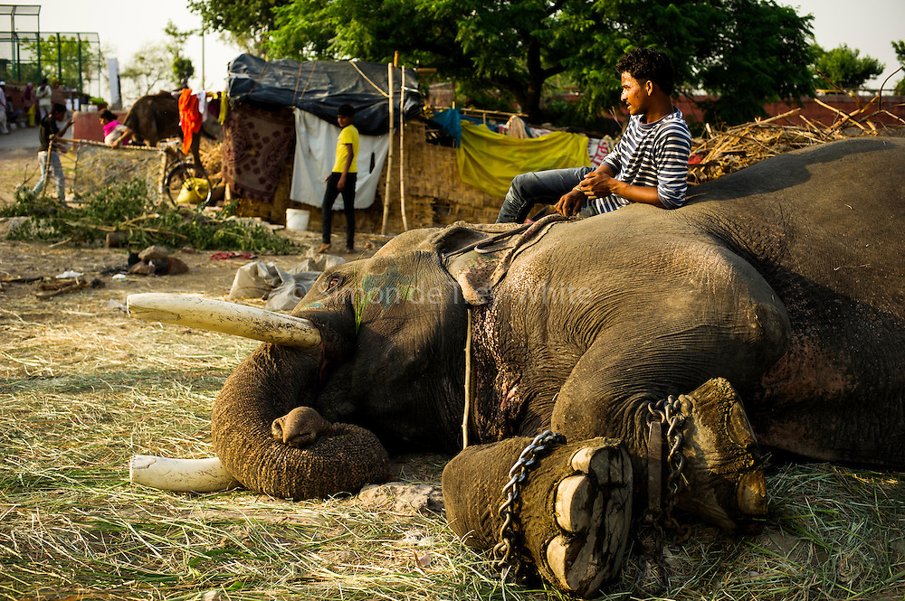 5th May 2014, Yamuna River, New Delhi, India. A mahout lying down on male elephant Gangaram at the handler's camp, with an iron bull-hook to hand, as the animal lies on its side exposing the cracked soles of its feet, New Delhi, India on the 5th May 2014<br /> <br /> Elephant handlers (Mahouts) eke out a living in makeshift camps on the banks of the Yamuna River in New Delhi. They survive on a small retainer paid by the elephant owners and by giving rides to passers by. The owners keep all the money from hiring the animals out for religious festivals, events and weddings, they also are involved in the illegal trade of captive elephants.The living conditions and treatment of elephants kept in cities in North India is extremely harsh, the handlers use the banned 'ankush' or bullhook to control the animals through daily beatings, the animals have no proper shelters are forced to walk on burning hot tarmac and stand for hours with their feet chained together. <br /> <br /> PHOTOGRAPH BY AND COPYRIGHT OF SIMON DE TREY-WHITE + 91 98103 99809<br /> email: simon@simondetreywhite.com<br /> Photographer in Delhi