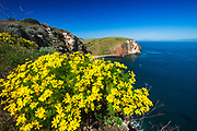 Giant Coreopsis at Scorpion Cove, Santa Cruz Island, Channel Islands National Park, California