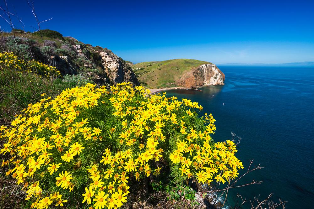 Giant Coreopsis at Scorpion Cove, Santa Cruz Island, Channel Islands National Park, California