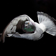 Homing pigeons in flight photographed at Kastle Loft in Lexington, Ky. July 9, 2012. Photo by David Stephenson