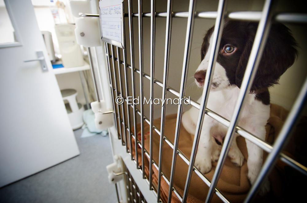 Puppy dog waits in the recovery area, Arnwood Veterinary Surgery, Nottingham, England, UK.