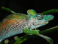 Strange Horned Chameleon(Chameleo xenorhinus)