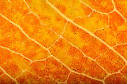 THEMENBILD - Blattfarben des Herbstes, Macroaufnahme, im Bild Assimilation im Herbst, Blattgrün (Chlorophyll) wird nicht mehr verdeckt durch gelbe Carotine, Carotinoide, Xanthophylle, sowie roten Anthocyane, Blattstruktur einer Sommerlinde (Tilia platyphyllos) im Durchlicht, Detail, estreme Nahaufnahme. Bild aufgenommen am 08.10.2013. EXPA Pictures © 2013, PhotoCredit: EXPA/ Eibner-Pressefoto/ Weber<br /> <br /> *****ATTENTION - OUT of GER*****