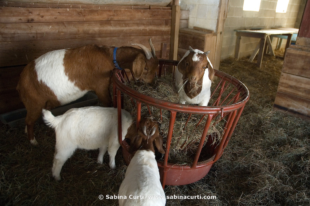 Baby boer goats and mothers feed on small sustainable family farm in Hillsdale, Columbia County, NY, New York