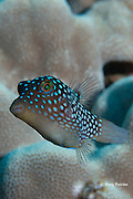 Hawaiian whitespotted toby or white-spotted puffer, Canthigaster jactator ( Hawaiian endemic species ), Milolii, South Kona, Hawaii ( Central Pacific Ocean )