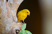 Saffron Finch ((Sicalis citrina), Araras Ecolodge,  Mato Grosso, Brazil (Photo: Peter Llewellyn)