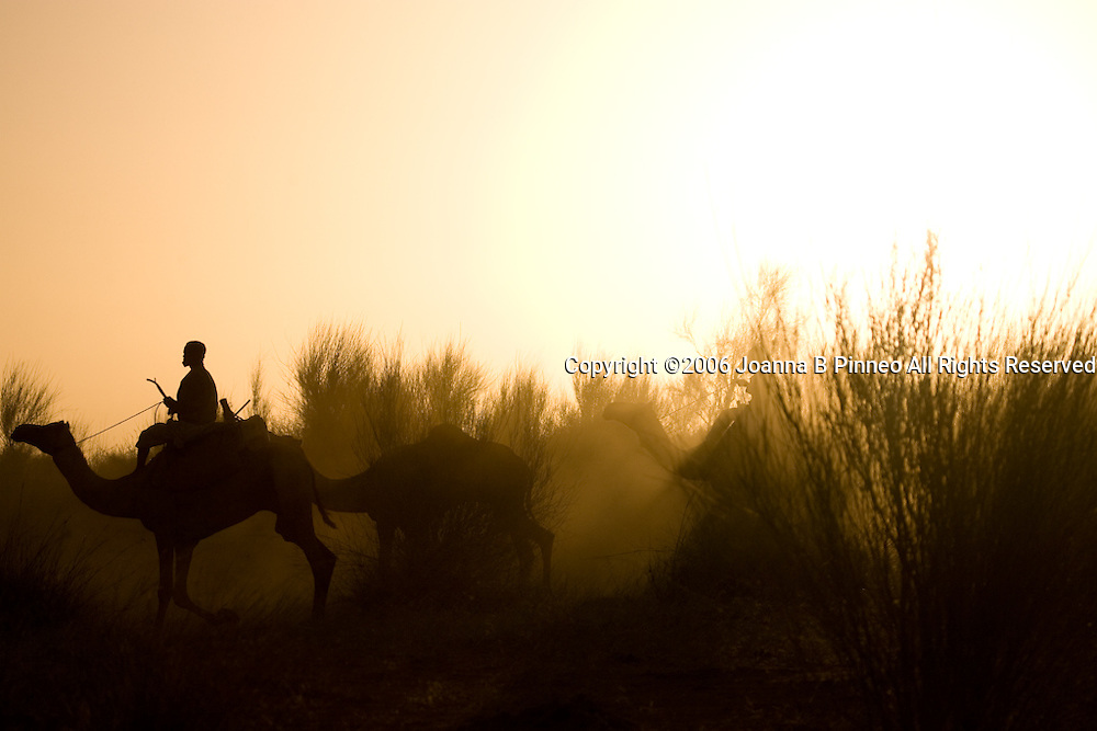 Camels emerge from the grasses at sunrise on a camel caravan through north Sudan to Egypt.
