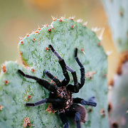 Desert tarantula on a cactus on a South Texas Ranch.