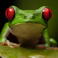 Red-eyed treefrog, Agalychnis calidryas