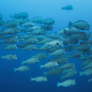 Large school of humphead parrotfish patrolling the Eastern Fields of Papua New Guinea, very early in the morning. There were several hundred fish in the school.