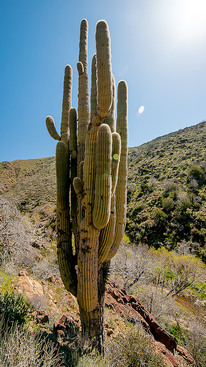 An ancient Grand Saguaro with dozens of arms stands along a remote desert trail.