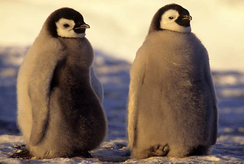Emperor Penguin, (Aptenodytes forsteri) Pair of chicks. Atka Bay. Antarctica.