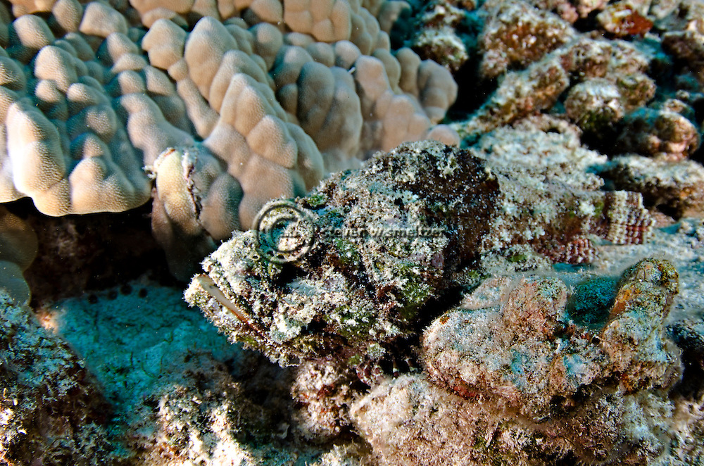 Devil Scropionfish, Scorpaenopsis diabolus, Cuvier, 1829, Kona Hawaii
