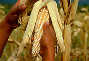 MEXICO, AGRICULTURE Corn harvest, Cuernavaca