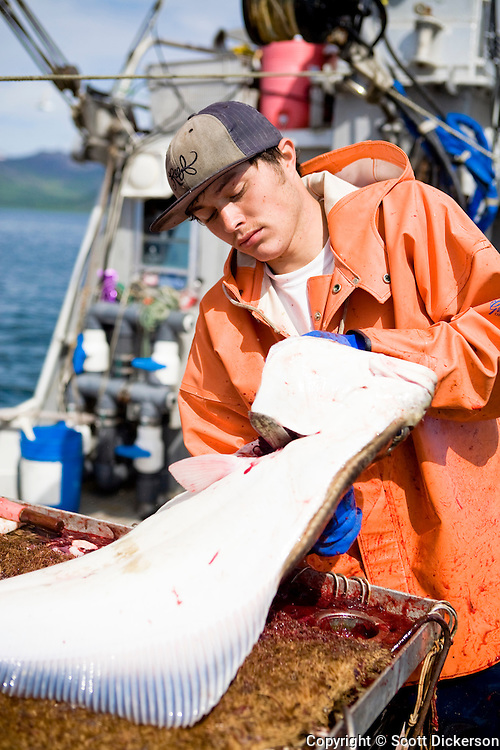 Keith Bell gutting halibut while commercial longline fishing for pacific halibut in the Aleutian Islands, Alaska.
