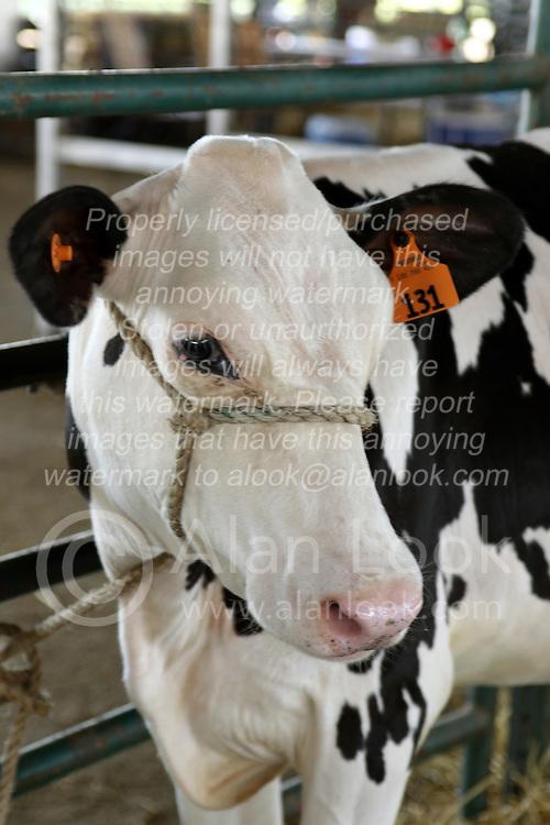 05 August 2016:   McLean County Fair<br /> <br /> Dairy cow - holstein