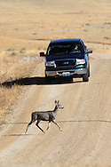 Mule deer crossing gravel road in front of pickup in Wyoming