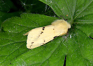 Buff Ermine Spilosoma luteum Length 28mm. An attractive moth that rests with its wings held in a tent-like manner over the body. Adult has buffish-yellow forewings that are variably marked with black spots, some of which form an oblique row. Flies May-July. Larva is reddish and hairy. Feeds on a wide range of herbaceous plants and shrubs. Widespread and common in England and Wales; more local and mainly coastal in Scotland.