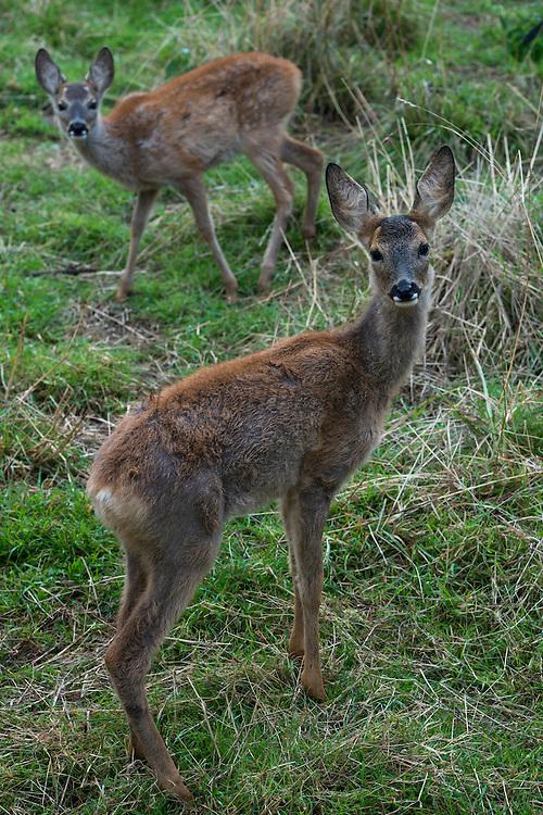 European Roe Deer (Capreolus capreolus)<br /> Secret World Wildlife Rescue Center<br /> Somerset<br /> England<br /> UK<br /> captive