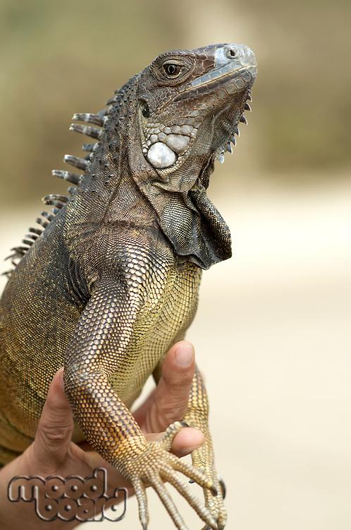 Man's Hand Holding Iguana