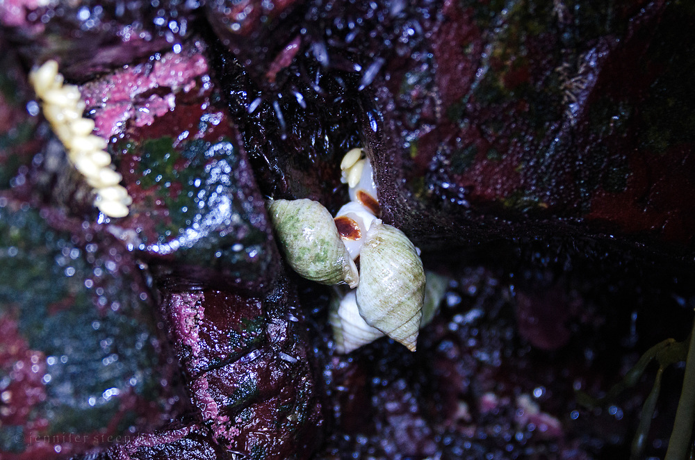 Dog whelks (Nucella lapillus) mating and laying eggs, Seal Harbor, Maine