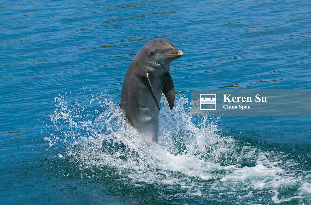 Dolphins jumping, Roatan Islands, Honduras