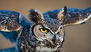 Great-horned owl portrait, with owl leaning forward aggressively, ear tufts prominent, © 2005 David A. Ponton