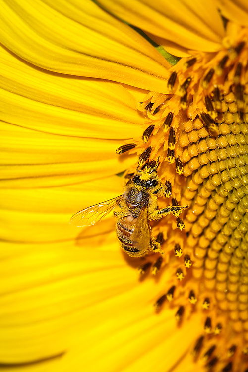 Close-up image of a honey bee (Apis mellifera), covered in pollen, on a sunflower head (Helianthus annuus), McKee-Beshers Wildlife Management Area, Poolesville, Maryland.