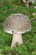 The Blusher - Amanita rubescens