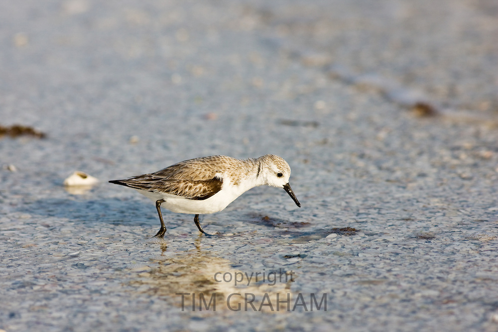 Sanderling bird feeding on the shoreline at Anna Maria Island, Florida, United States of America