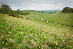 Cowslips growing wild in a field near Bower Chalk, Wiltshire. Primula veris