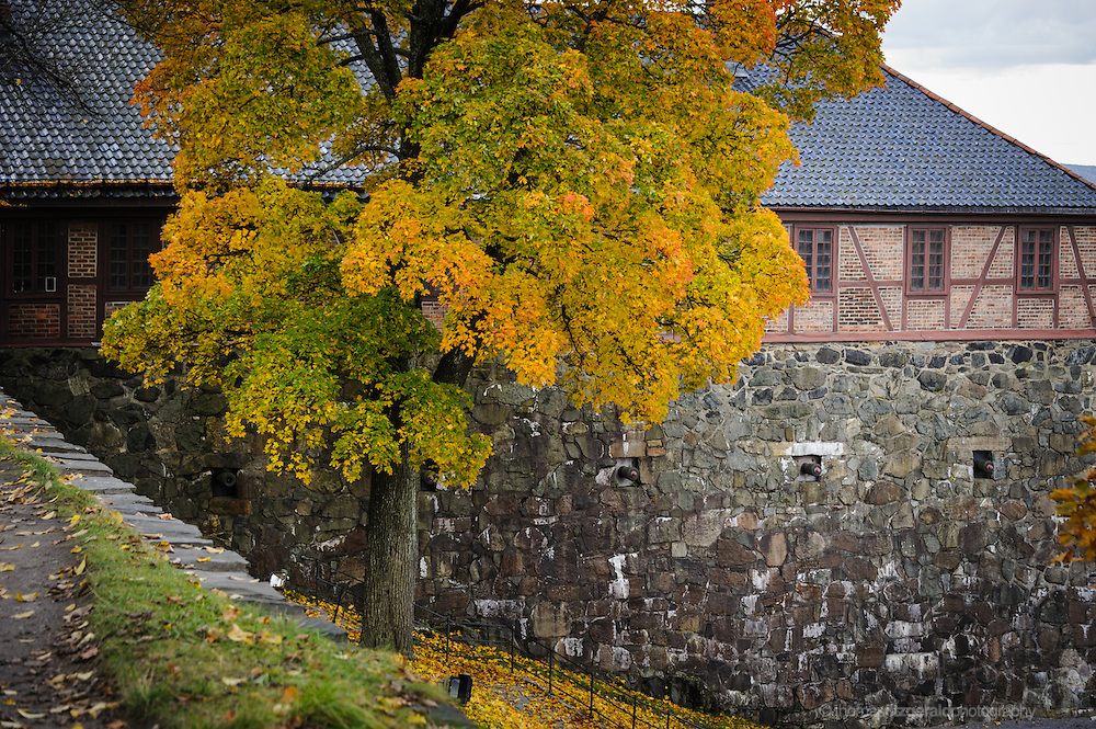 Oslo, Norway, October 2012: An Autumn tree in the Oslo Fortress grounds