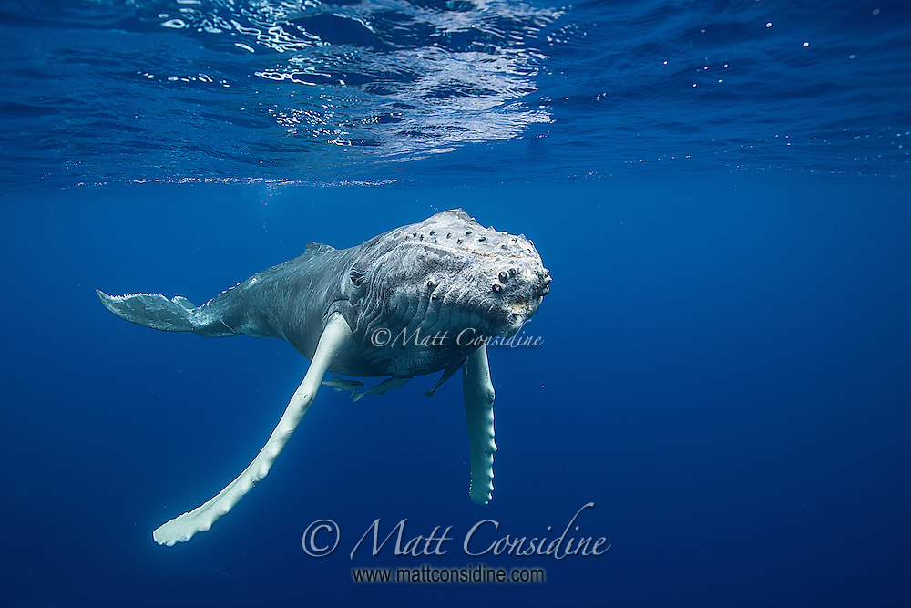 Curious young humpback whale.. (Photo by Underwater Photographer Matt Considine)