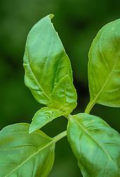 Basil 'Sweet Genovese', Sweet basil<br /> Ocimum basilicum