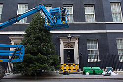© licensed to London News Pictures. London, UK 30/11/2012. The Downing Street Christmas Tree being erected outside No 10 on 30/11/12. The tree is a Nordmann Fir grown in Scotland by Mike Craig. Photo credit: Tolga Akmen/LNP