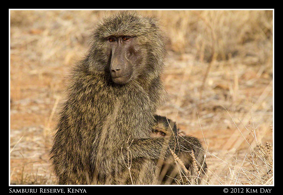 Momma And Baby Baboon.Samburu Game Reserve, Kenya.September 2012