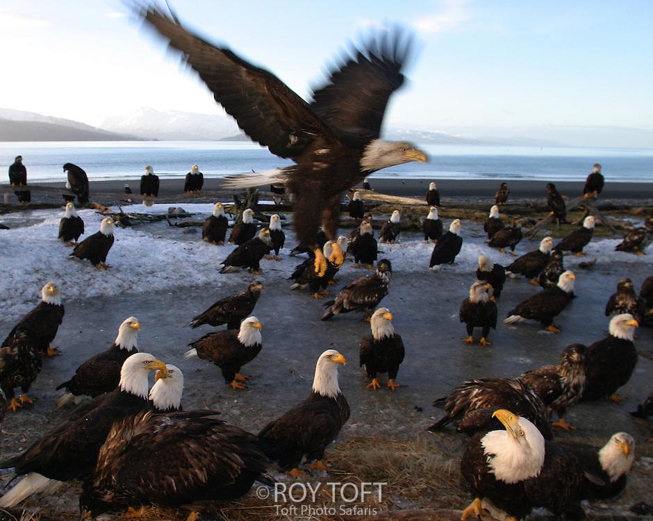 Flock of American bald eagles (Haliaeetus leucocephalus) on beach, Homer, Alaska.