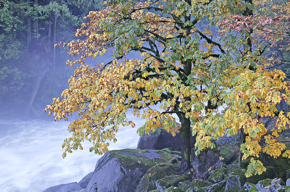 Autumn maple tree at Eagle Falls, Skykomish River, Washington State