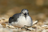 Laughing Gull, (Larus atricilla), from Causeway between Fort Myers and Sanibel Island, Florida, USA   Photo: Peter Llewellyn