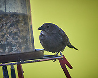 Female Brown-headed Cowbird. Image taken with a Nikon D5 camera and 600 mm f/4 VR lens (ISO 1000, 600 mm, f/5.6, 1/1250 sec)