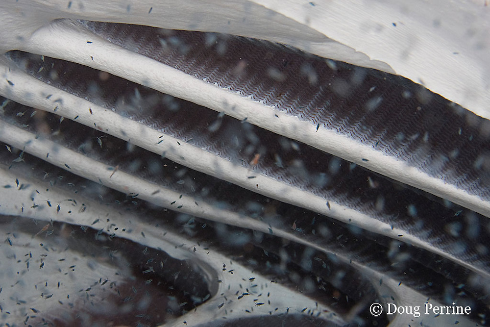 view inside of open mouth of feeding manta ray, Manta birostris, showing gill arches and branchial filters which trap plankton as water is forced out through gills; the plankton consists mostly of calenoid copepod crustaceans; Kona, Hawaii ( the Big Island ), Central Pacific Ocean