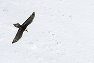 Flying bearded vulture (Gypaetus barbatus) against a snow surface, Leukerbad, Valais, Switzerland